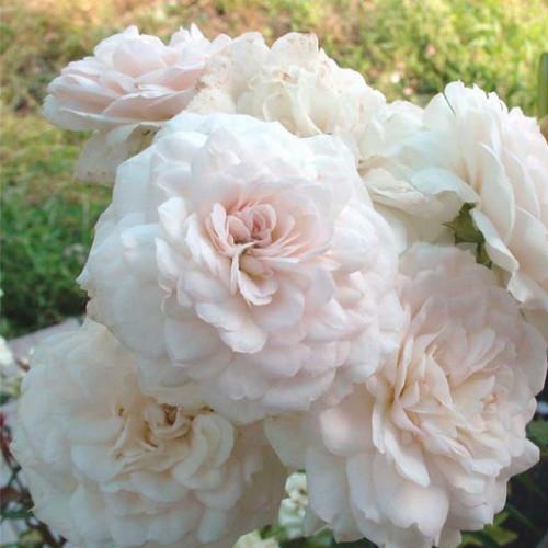 Роза английская «Франсин Остин»