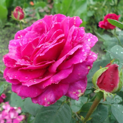Роза кустовая «Юрианда»