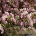 Черемуха обыкновенная colorata