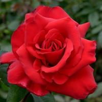 Роза кустовая «Гранд Гала»