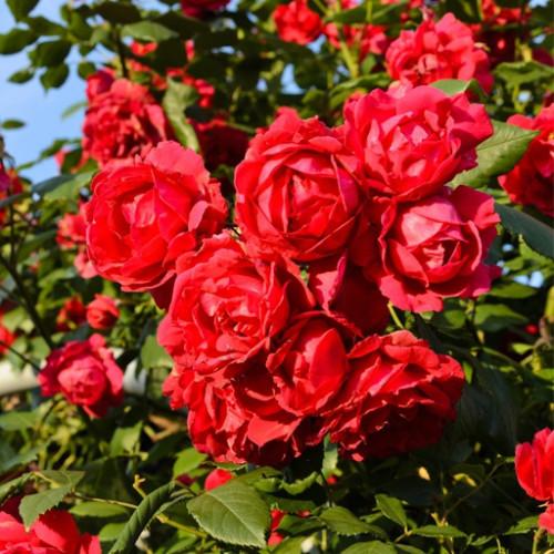 Роза плетистая «Скарлет О'хара»