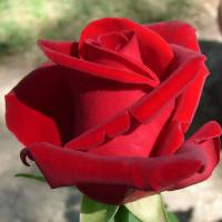 Роза кустовая «Самурай»