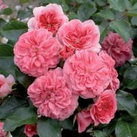 Роза миниатюрная «Четыре Сезона»