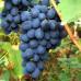 Виноград «Альфа»