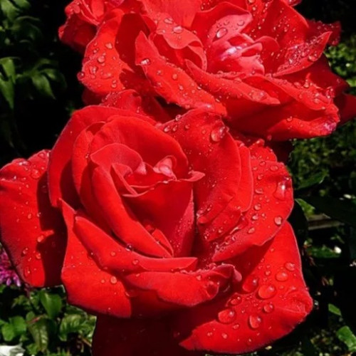 Роза кустовая «Софи Лорен»