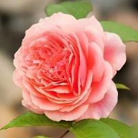 Роза английская «Чип и Дейл»