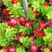 Клюква крупноплодная «Мак Фарлин»
