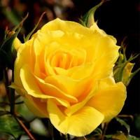 Роза кустовая «Фриско»