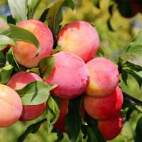Слива «Персиковая»