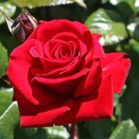 Роза кустовая «Ред Берлин»