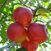 Яблоня «Джонаголд»