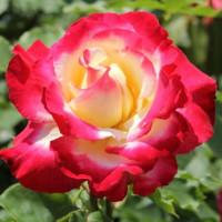 Роза кустовая «Дабл Делайт»