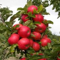 Колоновидная яблоня «Элита»