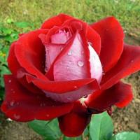 Роза кустовая «Люксор»