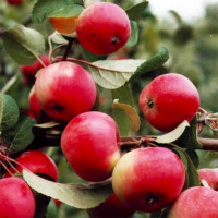 Яблоня «Ранетка»
