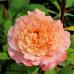 Роза английская «Августа Луиза»