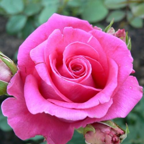 Роза кустовая «Топаз»