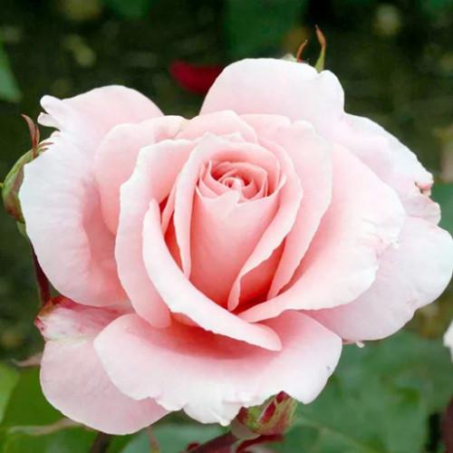 Роза кустовая «Дансинг Квин»