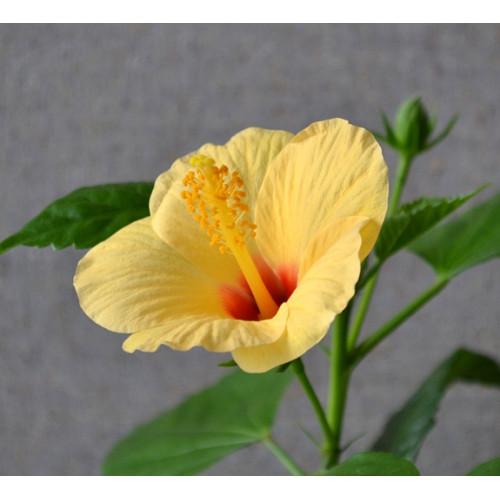 Гибискус Kyoto Yellow