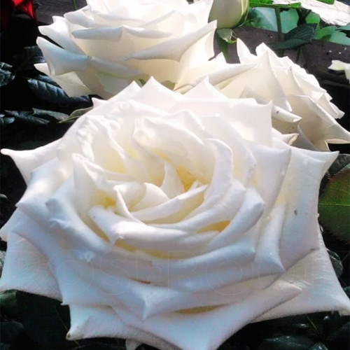 Роза кустовая «Океан Клер»