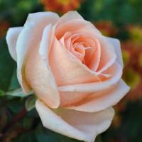 Роза кустовая «Талея»