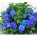 Гортензия крупнолистная Nikko Blue