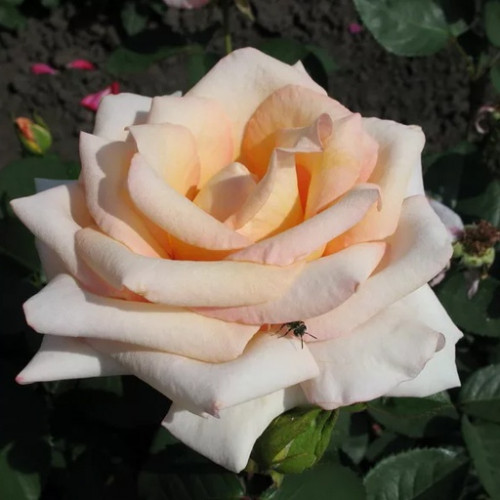 Роза кустовая «Версилия»