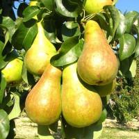 Колоновидная груша «Восторг»