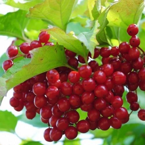 Калина садовая «Гранатовый Браслет»