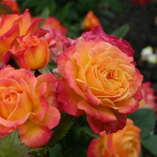 Роза кустовая «Высший Свет»