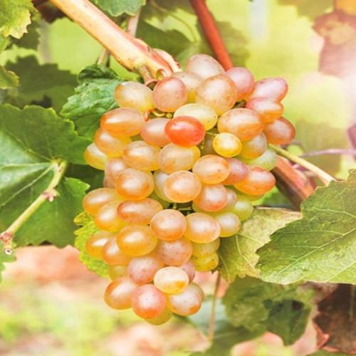 Виноград «Краса Севера»