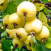 Яблоня «Китайка Золотая»