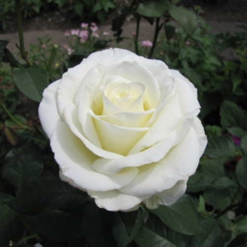 Роза кустовая «Магади»