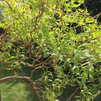 Ива обыкновенная erythroflexuosa