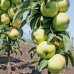 Колоновидная яблоня «Зеленый Шум»
