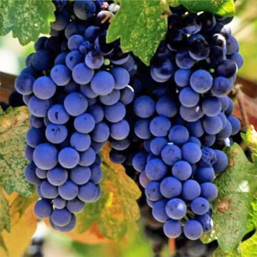 Виноград «Награда»