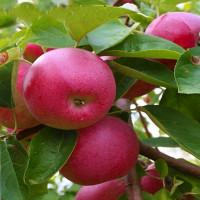 Яблоня «Слава Победителям»