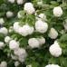 Калина бульденеж roseum