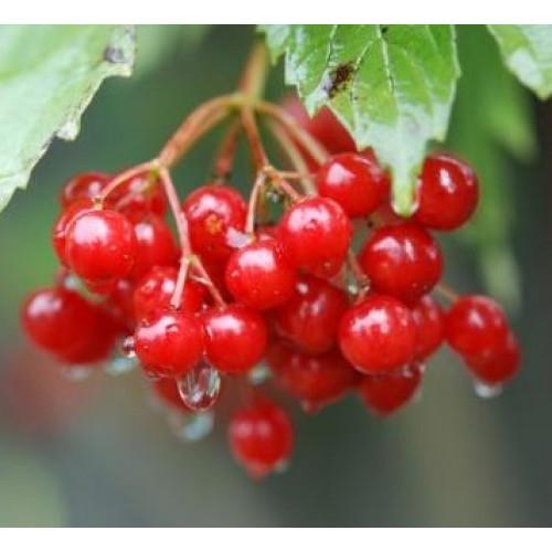 Калина садовая «Красная Гроздь»