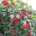 Калина садовая «Зарница»