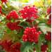 Калина садовая «Соузга»