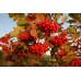 Калина садовая «Закат»