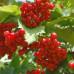 Калина садовая «Жалобовская»