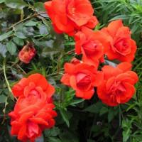 Роза плетистая «Кордес бриллиант»