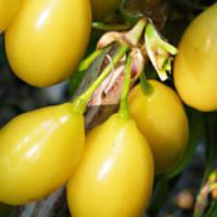 Кизил «Желтый Галицкий»