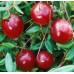 Клюква крупноплодная «Краса Севера»