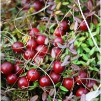 Клюква крупноплодная «Дар Костромы»