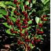 Колоновидная вишня «Ашинский гибрид»