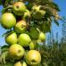Колоновидная яблоня «Балерина Голден Сенсейшн»