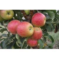 Колоновидная яблоня «Фаворит»